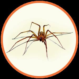 cupinsect-pragas-urbanas-aranha-marrom