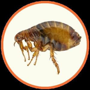 cupinsect-pragas-urbanas-pulga